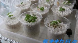プラケースに肥料の入った水を入れてプラコップを並べる