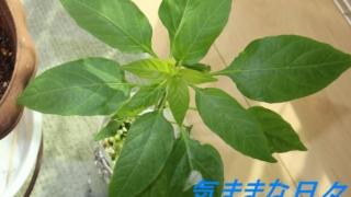 赤唐辛子の水耕栽培8週目
